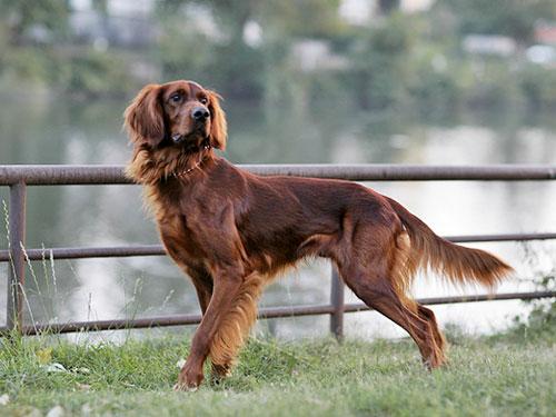 Setter irlandese caccia cane da ferma inglese for Cane setter