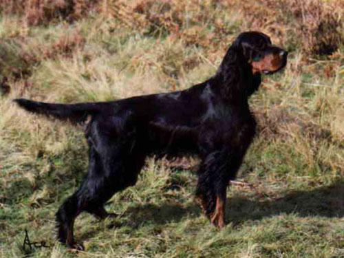 Setter gordon caccia cane da ferma inglese ladoppietta for Cane setter