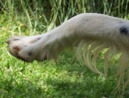 la zoppia del cane da caccia
