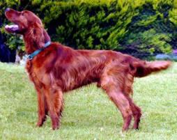 Setter irlanderse cani da caccia da ferma for Setter carattere