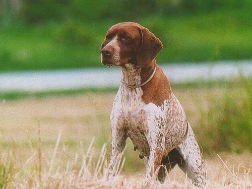 bracco francese cani da caccia da ferma